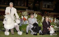 Lineup of Poodles in show.