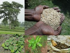 Medicinal Rice Formulations for Diabetes Complications, Heart and Liver Diseases (TH Group-64) from Pankaj Oudhia's Medicinal Plant Database