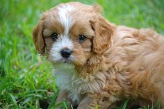 Close up side view - A thick, wavy coated, tan with white Cavapoo puppy is standing across grass looking at the camera. Its coat looks soft. Its eyes and nose are black.