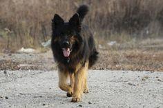 German Shepherd - Desktop Nexus Wallpapers