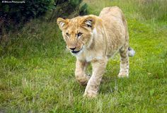 Cutest Lion Cub by Natassja Berg Hviid on 500px