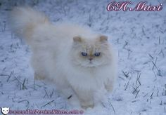 Pictures Persian Cats | persian kittens for sale at persian kittens com a persian cat breeder ...