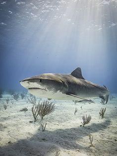 Tiger Shark at Tiger Beach by Macdaza
