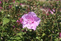 HIBISCUS syr. LAVENDER CHIFFON ® 'Notwoodone' cov Hibiscus, Lavender, Chiffon, Plants, Silk Fabric, Plant, Planting, Planets, Lavandula Angustifolia