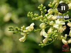 thành phần hoa hòe trà cung đình
