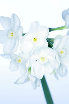 Paperwhite Daffodils (narcissus Sp.) Photograph by Lawrence Lawry - Paperwhite Daffodils (narcissus Sp.) Fine Art Prints and Posters for Sale