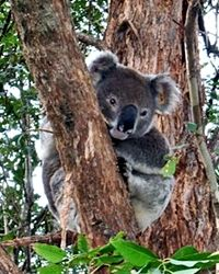 Give A Month of Care To A Koala 126,000 DAILY CLICKS FUND THIS PROJECT   Read more at http://greatergood.com/thanks/#dxgkbR8UjwD8poZL.99