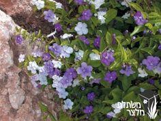 """ברונפלסיה קטנת-פרחים 'רב-פרחים'-Brunfelsia calycina 'Floribunda' 2-3 מטר, שיח מסועף וצפוף, פריחה ריחנית בערב, פרח סגול ההופך בהיר עד לבן, פריחה באביב ואחר כך בטפטוף, נשיר מותנה, להוסיף ברזל כאשר העלווה בהירה, שמש או צל חלקי, """"אתמול היום מחר"""""""