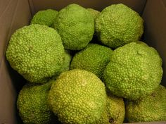 """Osage oranges, or """"brain balls"""" as I used to call them. Saw the first of the season yesterday, cradled by a delighted toddler in a stroller. Hedge Apples Uses, Green Fruit, Harvest Time, Farm Yard, Apple Tree, What You Can Do, Herbal Medicine, Hedges"""