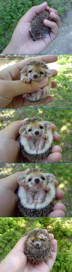 no seriously I've wanted a hedgehog for a long time! ask anyone!