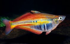 New Guinea has some of the most beautiful freshwater fishes found anywhere, including gobies, gudgeons and rainbow fish.