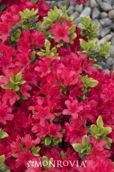 Monrovia's Girard's Crimson Evergreen Azalea details and information. Learn more about Monrovia plants and best practices for best possible plant performance. Azalea Shrub, Azalea Bush, Cheap Landscaping Ideas, Azaleas Landscaping, Front Yard Landscaping, Monrovia Plants, Plant Catalogs, Sun Plants, Flowering Shrubs