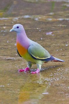 I have to question the description of this pigeon.Rare Pink-Necked Green Pigeon, also known as fruit dove. I see a mauve necked or purple necked green pigeon with an orange chest and pink feet. Pretty Birds, Beautiful Birds, Animals Beautiful, Exotic Birds, Colorful Birds, Tropical Birds, Green Birds, Colorful Animals, Colorful Fruit