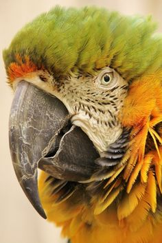 <3 This is a Macaw. The medial patch around the eyes almost look like skin. The Hyacinth Macaws have yellow rings around their eyes. Parrots usually have feathers that go right up to their eyes. The Macaw is the largest bird in the Parrot family with also the largest wingspan.