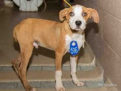 ***URGENT-- 7/21/15-HOUSTON-This DOG - ID#A436759 ~ I am a sweet male, brown and white Labrador Retriever mix. The shelter staff think I am about 1 year and 1 month old. I'm longing for a family of my own! I have been at the shelter since Jun 26, 2015. This information was refreshed 27 minutes ago and may not represent all of the animals at the Harris County Public Health and Environmental Services.