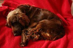 Adorable Sleeping Field Spaniel Puppy