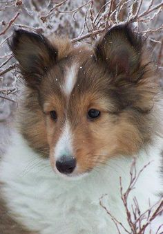 from I Love Shelties