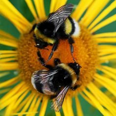 White-tailed Bumblebees (Bombus lucorum)