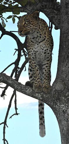 Botswana Vumbura leopard (Wil 5803)