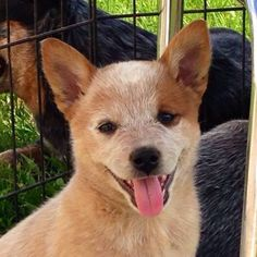Who wouldn't fall in love with this happy lil' beautiful girl ♥♥♥ Aussie Cattle Dog, Austrailian Cattle Dog, Cattle Dogs, Baby Animals, Cute Animals, Sweet Dogs, Herding Dogs, Large Dog Breeds, Dog Rules