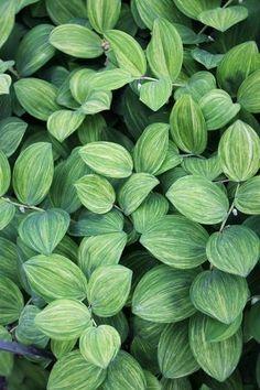 Polygonatum odoratum 'Goldilocks'|Juniper Level Botanic Gdn, NC|