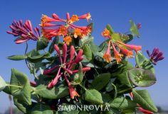 train Dropmore Scarlet Trumpet Honeysuckle  Lonicera x brownii 'Dropmore Scarlet' on pond fence