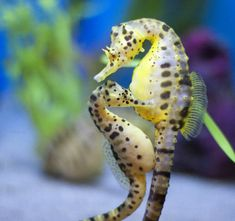 SEAHORSE..........SOURCE BING IMAGES...........