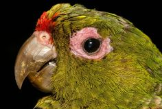 Ecological corridor to provide connectivity for endangered, range-restricted Andean species Endangered Species, Ecology, Vulnerability, Conservation, Wildlife, Parakeets, Whistles, Corridor, Anton