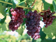 Google Image Result for http://tourcoverage.files.wordpress.com/2012/02/fresh-grapes-wallpapers_9161_1024x7682.jpg