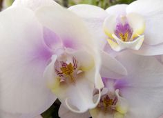 The Utah Orchid Society's annual show at Red Butte Garden in Salt Lake City features orchids grown primarily in Utah with awards presented to the top orchids in each class.