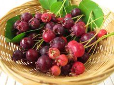 Perennial food plants, perennial berries, perennial, berries, berry, serviceberry, Juneberry