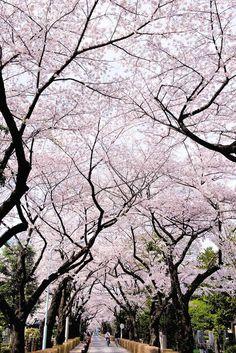 Stunning display of cherry trees in Japan.   Via Exposure Guide