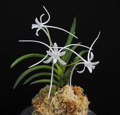 Neofinetia Falcata Shutennou   Neofinetia falcata 'Manjyushage' 曼珠沙華 - Spider Lily