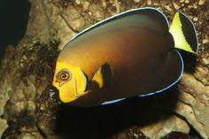 Conspicuous Angelfish Chaetodontoplus conspicillatus 25 cm Southwestern Pacific Outer reef