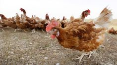 Canadian egg farmers to abandon battery cages by 2036 - http://www.newswinnipeg.net/canadian-egg-farmers-to-abandon-battery-cages-by-2036/