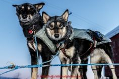 Paige Drobny dogs Gypsy and ShadyGrove are ready to head dow the trail in the morning on Thursday March 12, 2015 at the Ruby checkpoint during Iditarod 2015.(C) Jeff Schultz/SchultzPhoto.com - ALL RIGHTS RESERVED DUPLICATION  PROHIBITED  WITHOUT  PERMISSION: Paige Drobny dogs Gypsy and ShadyGrove are ready to head dow the trail in the morning on Thursday March 12, 2015 at the Ruby checkpoint during Iditarod 2015.(C) Jeff Schultz/SchultzPhoto.com - ALL RIGHTS RESERVED DUPLICATION  PROHIBITED…
