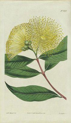 Eucalyptus (F. Sansom, 1815) | Spagyric use: respiratory affections, sinusitus, bronchitis