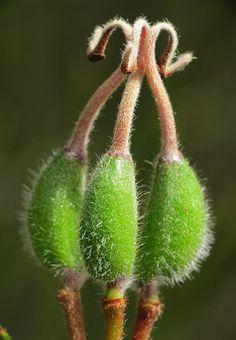 ˚Grevillea seed pods