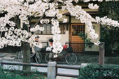 Sakura @ Nakamachi 2 ++ photographer: peter davies