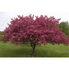 Malus 'Prarie Fire' Crabapple