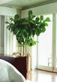 This Fiddle Leaf Fig tree is a lovely household plant Indoor Trees, Potted Trees, Trees To Plant, Indoor Plants, Interior Plants, Home Interior Design, Interior And Exterior, Ficus, Indoor Garden