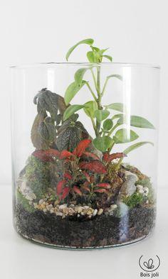 Jungle miniature  Fitonia, Pilea, Peperomia, mousse, lichen