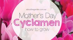Cyclamen a perfect Mothers Day Plant | About the Garden Magazine | About The Garden Magazine