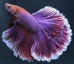 Stunning Lavender halfmoon Male Live Betta Fish