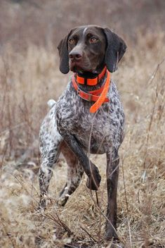Beautiful Pointer