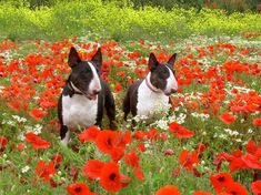15 Photos Confirming That Bull Terriers Love Flowers Bully Terrier, Bull Terrier Puppy, British Bull Terrier, English Bull Terriers, Best Dog Breeds, Best Dogs, Equine Photography, Animal Photography, Black Lab Puppies