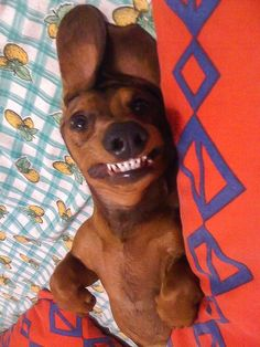 doxie teeth!!