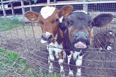 Eeek!  Baby Cows!
