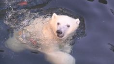 Nora, the Oregon Zoo's newest polar bear, took another step forward towards meeting the public Tuesday.
