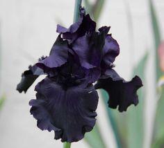 Iris 'Black Tie Affair' (Tall Bearded Flag Iris)